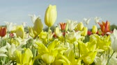 tulipan : CLOSE UP, SLOW MOTION: Colorful vast field of lovely wild planted diverse tulips of different shapes, colors and sizes. Delicate silky flowers blooming on big grassy natural flower field Wideo
