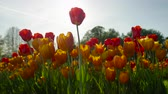 flowering bulbs : SLOW MOTION, CLOSE UP, LOW ANGLE VIEW: Lovely silky wide opened orange and red tulips of different shapes blooming on amazing garden in local floricultural park on beautiful sunny spring day