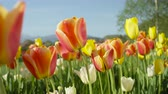 tulipan : CLOSE UP, SLOW MOTION, DOF: Amazing colorful meadow field with lovely wild planted diverse red and yellow tulips growing and blooming among green weeds with high glorious rocky mountains in background Wideo