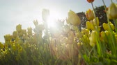 flowering bulbs : SLOW MOTION, CLOSE UP, LOW ANGLE VIEW: Lovely silky yellow and white flowering tulip bulbs of different shapes blooming on amazing garden in local floricultural park on beautiful sunny spring day
