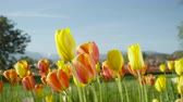 flowering bulbs : CLOSE UP, SLOW MOTION, DOF: Amazing colorful meadow field with lovely wild planted red and yellow tulips growing and blooming among green weeds with glorious mountains and local town in background