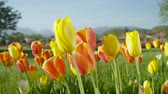 flowering bulbs : CLOSE UP, SLOW MOTION, DOF: Amazing colorful natural grass field with lovely wild planted red and yellow tulips blooming among weeds with glorious mountains and local floricultural field in background