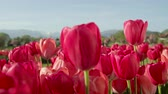 flowering bulbs : CLOSE UP, SLOW MOTION, DOF: Amazing delicate rosy red colorful tulip bulbs blooming on vast floricultural field in touristic park near local agricultural town with high rocky mountains in background Stock Footage