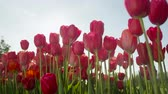 flowering bulbs : CLOSE UP, SLOW MOTION, LOW ANGLE VIEW: Stunning fiery red tulip flower bulbs blooming under cloudless sky on beautiful sunny spring day in local floricultural park at touristic spot in Slovenia