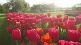 flowering bulbs : CLOSE UP, SLOW MOTION, DOF: Pretty delicate rosy red colorful tulip bulbs blooming on stunning garden at floricultural touristic park with tree avenue and white tent in background on sunny spring day