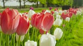 flowering bulbs : CLOSE UP, SLOW MOTION, DOF: Amazing red, purple and white colorful tulip bulbs blooming on beautiful gardens at floricultural touristic park with tree avenue in the background on sunny spring day