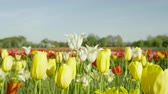 luxuriante : CLOSE UP, SLOW MOTION, DOF: Amazing red, yellow and white colorful tulips of different sorts, shapes, sizes and colors blooming on beautiful grassy meadow near floricultural field at touristic park