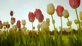 луковицы : CLOSE UP, SLOW MOTION, LOW ANGLE VIEW: Amazing red and yellow tulips blooming near beautiful grassy meadow at touristic park on early sunny evening. Lovely tulip flowers blossoming on big garden