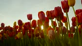 late spring : CLOSE UP, SLOW MOTION, LOW ANGLE VIEW: Amazing flowerbed of red and yellow tulips blooming at touristic park on early sunny evening. Lovely tall tulip flowers blossoming on big garden at late morning