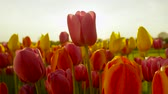 flowering bulbs : CLOSE UP, SLOW MOTION, DOF: Amazing rosy red, yellow and orange tulips blooming at beautiful local touristic park at early sunny evening. Fragile tulip flowers blossoming at late sunny morning