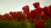 dof : CLOSE UP, SLOW MOTION, DOF: Amazing vibrant red tulips blooming at beautiful touristic floricultural park at early sunny evening. Fragile tulip flowers blossoming at late sunny morning on local garden