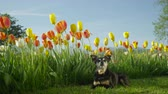 mowed : SLOW MOTION: Adorable black and brown short senior terrier dog lying on green freshly mowed lawn and enjoying beautiful sunny day in the shadow of stunning tall colorful tulips and other greenery Stock Footage