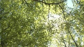 shining : LOW ANGLE VIEW: Sunbeams shining through lush green tree canopies and branches in sunny spring day. Sunlight penetrating through young leaves and canopies in beautiful deciduous forest in local park