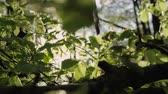 houpavý : SLOW MOTION CLOSE UP: Sunbeams shining through tree leaves fluttering in light breeze in sunny springtime