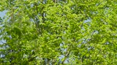 tronco : SLOW MOTION: Green leaves fluttering in lush tree canopy against the clear blue sky