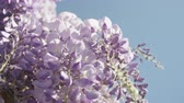 wisteria : SLOW MOTION CLOSE UP DOF: Beautiful blooming violet wisteria flowers on a perfect sunny day. Delicate glicinia purple petals hanging and swaying in spring breeze Stock Footage