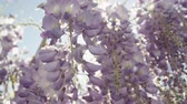 wisteria : SLOW MOTION CLOSE UP DOF: Summer sun shining through beautiful blooming wisteria flowers on a perfect sunny day. Delicate glicinia purple petals hanging and swaying in spring breeze