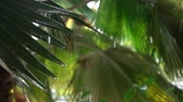 umidade : SLOW MOTION, CLOSE UP, DOF: Rain drops falling down and washing lush green palm tree leaf during light tropical summer storm. Big jagged leaves in light rainfall on beautiful fresh stormy day