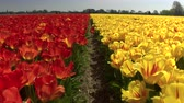 flowering : CLOSE UP: Big vast field of stunning colorful tulips blooming in local park. Small soil barier separating red tulip blossoms from yellow ones. Beautiful flowers at touristic spot Lisse, Netherlands Stock Footage