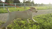 привязь : SLOW MOTION CLOSE UP: Excited cute little puppy running and exploring the surroundings of horse ranch on early evening. Sweet happy young mutt on a walk on beautiful sunny morning on countryside farm