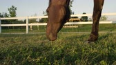 pasturage : SLOW MOTION, CLOSE UP: Beautiful powerful dark brown stallion horse pasturing on meadow field at golden sunset evening. Big strong gelding gazing on pasture and chewing grass at stunning sunrise