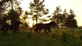 csikó : SLOW MOTION: Herd of beautiful young and adult horses running freely on horse ranch at stunning golden sunset. Group of dark bay mare and gelding cantering on meadow field on sunny morning at sunrise Stock mozgókép