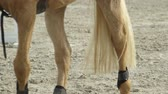 eyer : CLOSE UP, SLOW MOTION, DOF: Beautiful palomino horse getting ready for jumping show. Powerfull gelding walking in sandy riding arena preparing for competition. Detail of horse legs and tail in manege Stok Video