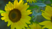 小花 : SLOW MOTION, CLOSE UP, DOF: Beautiful tender yellow sunflower blooming and turning to the sun. Details of sunflower head, petals, disc florets, ray florets and green leaves swinging in spring breeze