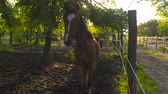 csikó : SLOW MOTION, CLOSE UP: Sweet dark brown colt walking along wired fence, observing surroundings. Young and adult horses relaxing and resting in shade under big lush tree canopy on hot sunny summer day