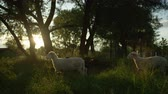 ovelha : SLOW MOTION CLOSE UP: Adorable black and white sheeps running freely in vast meadow field between lush tall trees in magical golden sunset. Cute animals on wild pasture field enjoying peaceful morning