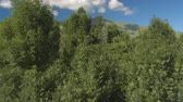 conífero : AERIAL: Flying close above beautiful lush green tree canopies opening view of stunning deciduous and coniferous forest and overgrown foothills of tall rocky mountains on peaceful sunny summer day