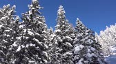 wintertime : AERIAL: Flying along stunning spruce and deciduous trees covered with white snowy blanket against blue sky. Picturesque view of amazing winter wonderland and sleeping forest on steep mountain foothill