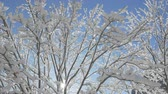 harikalar diyarı : AERIAL, CLOSE UP, LOW ANGLE: Flying around bare tree branches covered with fresh soft snow and ice glittering in warm winter sun. Big snowy and icy canopy shimmering on amazing sunny wintertime day