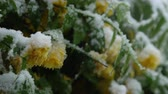 неустойчивый : SLOW MOTION CLOSE UP: Gentle orange flowers on blossoming bush freezing in snow in unusual spring weather. Fall of temperature and extreme climate change as a result of global warming, damaging plants
