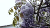 falling snow : SLOW MOTION CLOSE UP: Beautiful blue flowers freezing, bending under heavy snow in spring. Temperature fall, extreme climate change and unstable weather as a result of global warming damaging plant Stock Footage