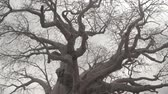 rat : CLOSE UP, LOW ANGLE VIEW: Beautiful baobab canopy without leaves against cloudy sky before rain storm. Rough trunk protuberances and beautiful smooth grey cork bark on big old mighty African tree