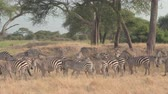 pasturing : CLOSE UP: Herd of wild zebras gathering in the shade of lush green acacia tree canopy and foraging on arid African tropical savannah plain. Safari animals in wilderness in Tarangire National Park