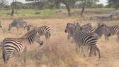 game reserve : CLOSE UP: Big herd of wild zebras living in natural habitat in hot arid African savannah, foraging on dry grass and relaxing on vast plain field in beautiful woodland in Tarangire National Park safari Stock Footage