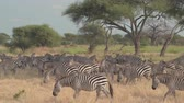 акация : CLOSE UP: Herd of wild zebras living in natural habitat in spectacular hot and arid African savannah, foraging on dry grass, cooling down in shade of acacia canopies in safari Tarangire National Park