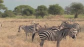 pasturing : CLOSE UP: Big herd of wild zebras living in natural habitat in hot arid African savannah, playing, running around, foraging and relaxing on vast plain field in beautiful grassland and green woodland