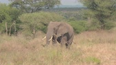 akác : CLOSE UP: Magnificent wild elephant in natural habitat in African tropical savanna feeding grass with trunk walking in spectacular wilderness in lovely safari wildlife resort Tarangire National Park Stock mozgókép