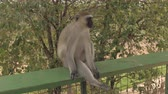 vervet monkey : CLOSE UP: Cute little African vervet monkey sitting on railing and observing surroundings. Lovely domesticated wild monkey not afraid of proximity of people and tourists in Tarangire National Park