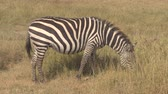 ngorongoro : CLOSE UP: Detail of stunning pregnant zebra with beautiful fur pasturing in natural habitat in breathtaking wilderness on vast arid African savannah grassland in Ngorongoro Crater conservation area