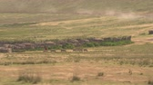 ngorongoro : AERIAL, CLOSE UP: Picturesque life of nomads in tribal society in savannah grassland. Maasai people dressed in traditional vibrantly colored khanga clothes herding donkeys on pasture in wilderness