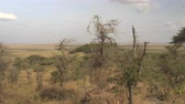 veld : CLOSE UP: Tall arid grass, low shrubs, beautiful green acacia trees in vast savannah grassland woodland growing on the hill slope witch extends into endless flatland. African veld on sunny summer day