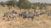 pasturing : CLOSE UP, AERIAL: Flying around adorable family of plains zebras grazing on dry tall grass on vast arid African savannah grassland and acacia woodland in Serengeti national park on beautiful sunny day