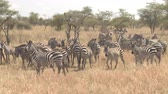 pasturing : CLOSE UP, AERIAL: Flying around cute big family of plains zebras grazing, running joyfully and playing on vast arid African savannah grassland and acacia woodland in stunning Serengeti game reserve