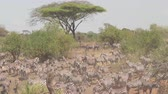 pasturing : AERIAL CLOSE UP: Flying above enormous amazing herd of wild zebras and cute offspring pasturing on dusty deserted savannah bushland and acacia tree woodland on hot sunny summer day in Tanzania, Africa