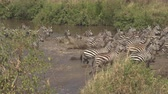находящихся под угрозой исчезновения : CLOSE UP: Wild zebras in numerous herd feeling threatened and suddenly start running out of mud waterhole in savannah woodland wilderness. Insecure young stallion senses danger and triggers the alarm Стоковые видеозаписи