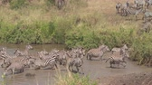 hydrating : CLOSE UP: Adorable wild zebras in harem drinking from big mud waterhole with caution. Animals on the alert for predators in African savannah bushland woodland standing on the lake shore and observing